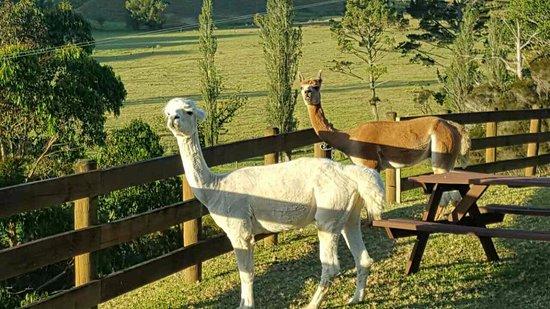 Whangaroa, New Zealand: The alpacas!