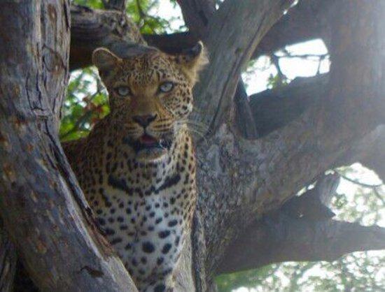 Marloth Park, Republika Południowej Afryki: Leopard on Gomodwane