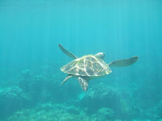 Coco Grove Beach Resort: Turtle seen while snorkeling at Apo Island