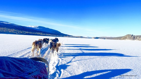 Overkalix, Szwecja: MAD Sled Dogs - Cross the Arctic Circle by Dogsled in Swedish Lapland