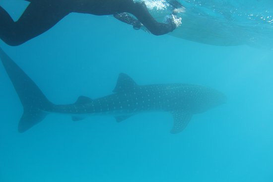 Phantom Divers: Met a 30 ' female Whale shark as we were leaving. Awesome!