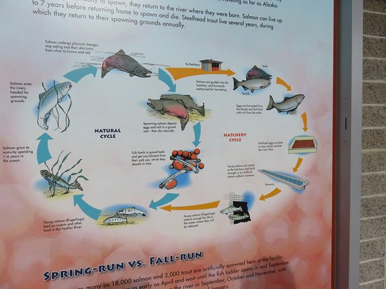Oroville, Kaliforniya: the display of how the fish cycle includes unnatural death