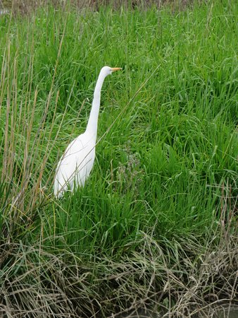 Colusa, Kalifornien: Great egret