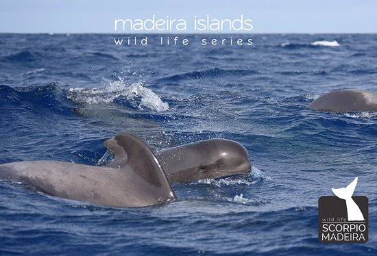 Scorpio Madeira Wild Life