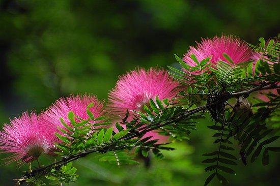 Arima, Trinidad: Puff flowers
