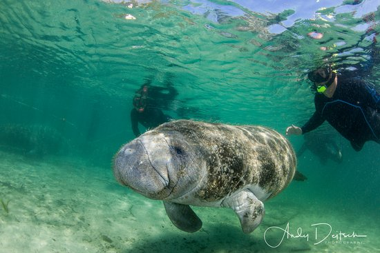 Crystal Lodge Dive Center: Snorkelers follow a baby manatee