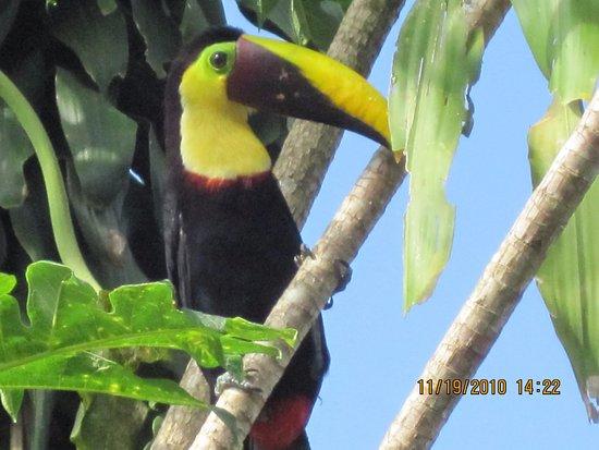 Puerto Jimenez, Costa Rica: Toucan