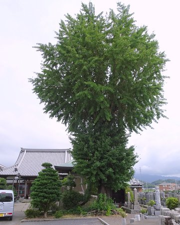 Maidenhair Tree of Manraku-ji Temple