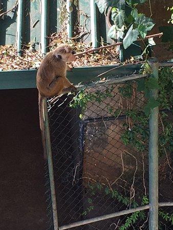 Nature Walk Resort: monkey on patrol