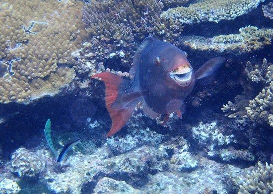 Lady Elliot Island, Austrália: Parrotfish