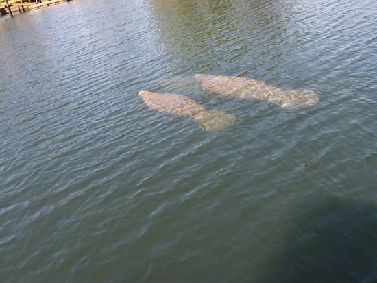 Crystal Lodge Dive Center: Manatees.