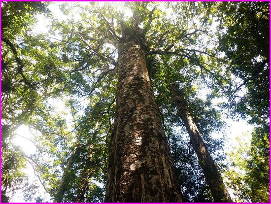 Redwoods, Whakarewarewa Forest: Tall Kauri trees thousands of years old. Amazing place and tour guide