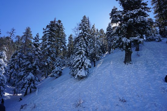 Wrightwood, CA: snow-covered pine trees