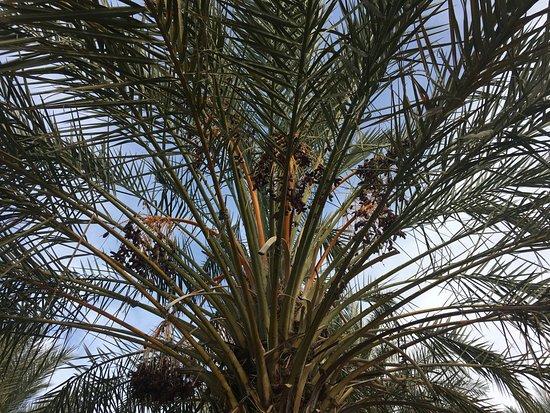 Tecopa, Kaliforniya: Date tree with fruits