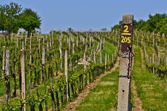 Nosislav, Czech Republic: Our vineyards