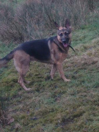 Glossop, UK: Heidi resident pub dog