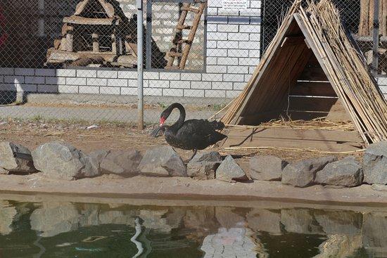 Melitopol, Ukrayna: черный лебедь