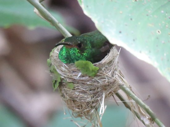 Tiskita Jungle Lodge: Hummingbird on nest