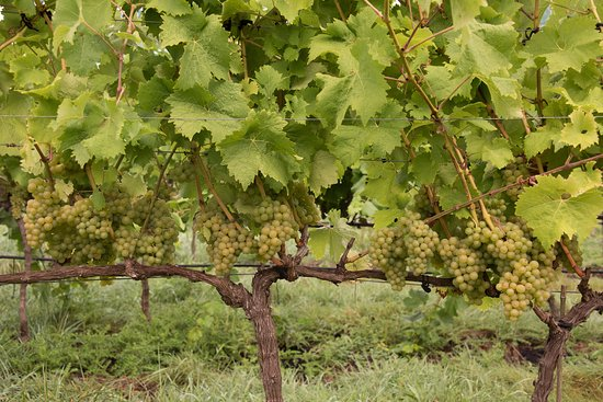 Courtenay, Canada: Healthy grapes on the vine