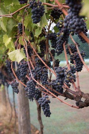 Courtenay, Canada: Red wine grapes at Beaufort