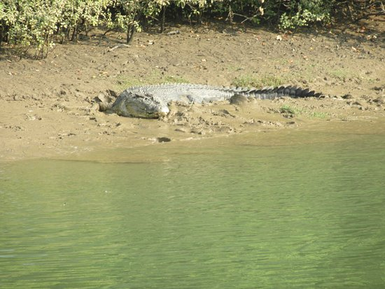 Sand Pebbles Bhitarkanika Jungle Resorts : A wild crocodile