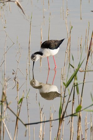 Costa Blanca, Spanje: Black winged stilt