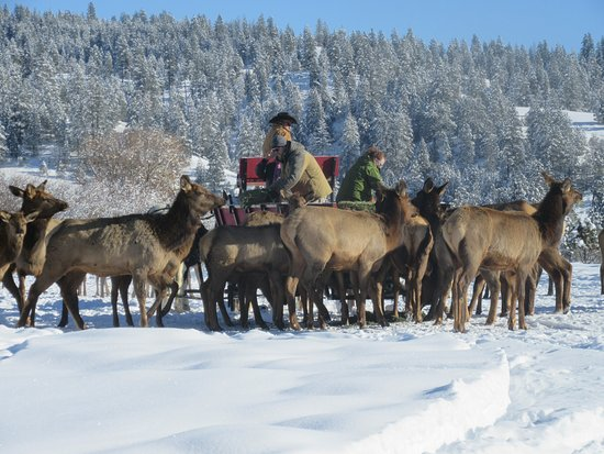 Garden Valley, ID: Wild elk come down from the hills and we hand feed from the sleigh