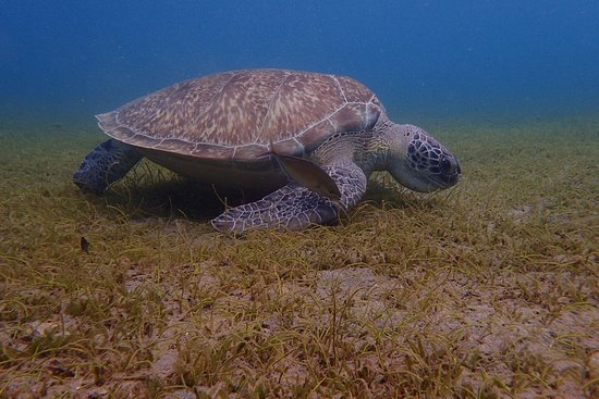 Guadeloupe Evasion Découverte Private Tours : green turtle in the snorekling