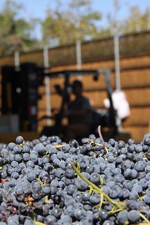 Plymouth, Kalifornien: Harvest