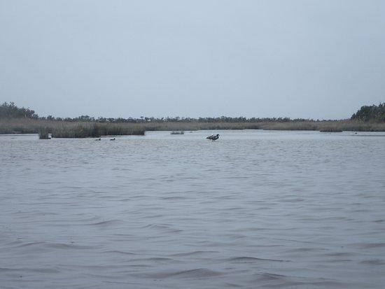 Okarito Kayaks: Paradise ducks