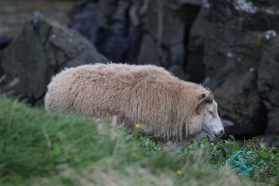 Бифрост, Исландия: Sheep at Illugastaðir Farm