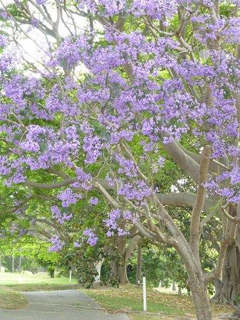 藍花楹盛開