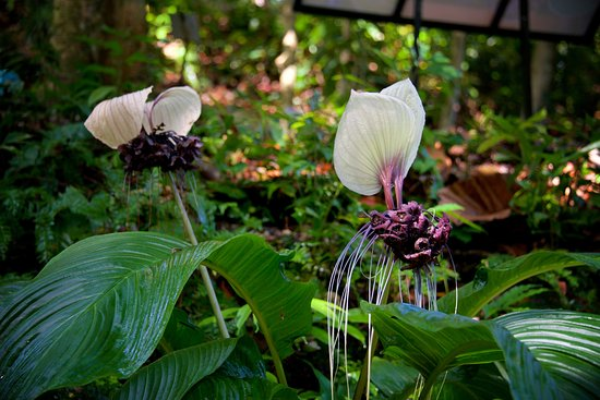 White Bat Flower Picture Of Tropical Spice Garden Penang Island