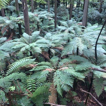 Redwoods, Whakarewarewa Forest: photo0.jpg