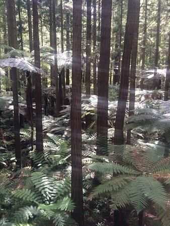 Redwoods, Whakarewarewa Forest: photo2.jpg