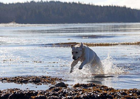 Little Jimmy in nearby Little Machias Bay, doing what he loves most. Not happy if he's not wet!