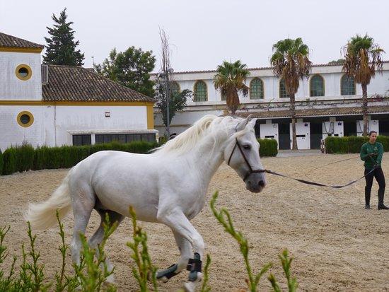 Fundación Real Escuela Andaluza del Arte Ecuestre: Young horse in training