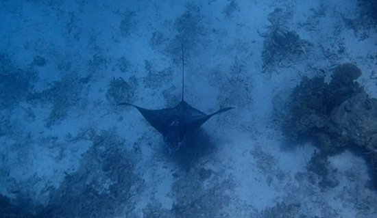 Rinbudhoo: spotted eagle ray