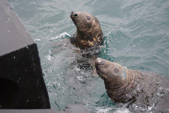 Shetland Wildlife: Waiting for their mackerel