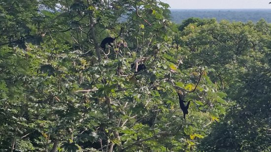 Belcampo Lodge: Breakfast with the Howler Monkeys!
