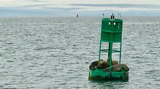 Dana Point, CA: Sealions