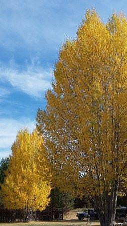 La Pine, OR: Four Seasons Fall aspens.