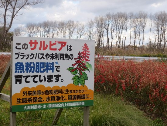 Ogata-mura, Japão: サルビア