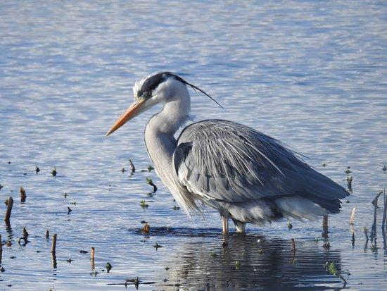 Silverdale, UK: heron fishing