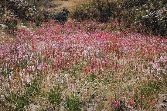 Schöne Blumenwiese Auf Dem Pass Bild Von Swartberg Pass