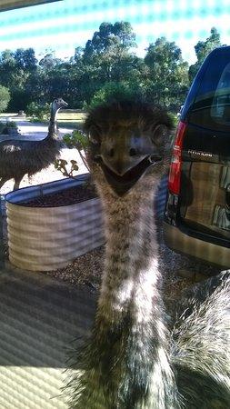 ماونتن فيو موتور إن آند هوليداي لودجيز: emus greet you on arrival