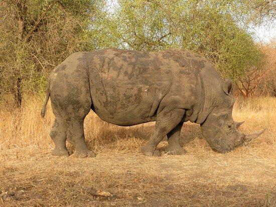 La Petite Cote, Senegal: rinoceronte accanto alla nostra auto