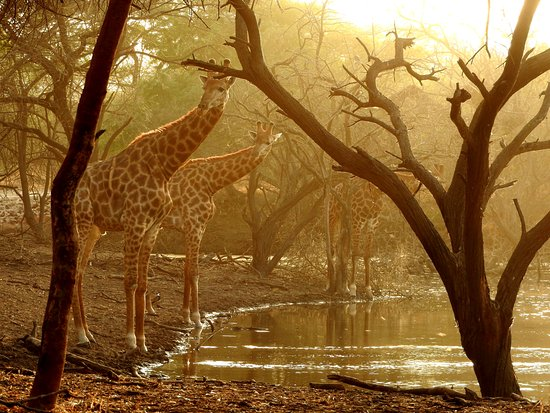 La Petite Cote, Senegal: adoro le giraffe
