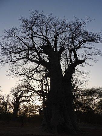 La Petite Cote, Senegal: i giganti del senegal, magnifici baobab