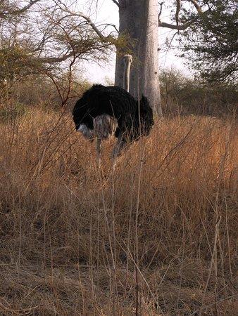 La Petite Cote, Senegal: struzzo anche lui molto vicino all'auto